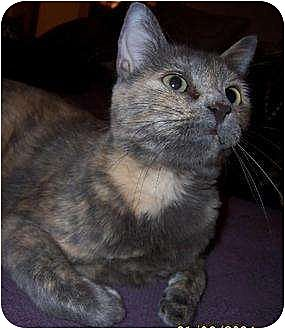 Domestic Shorthair Cat for adoption in Melbourne, Florida - Miley