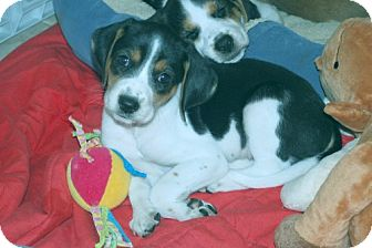 Foxhound/Beagle Mix Puppy for adoption in Minneola, Florida - Tara
