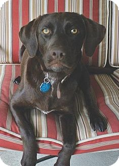 Labrador Retriever Mix Dog for adoption in Coppell, Texas - Tootsie