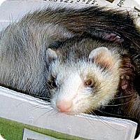 Adopt A Pet :: Jinny - Buxton, ME