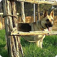 Adopt A Pet :: Duchess - Bowie, TX