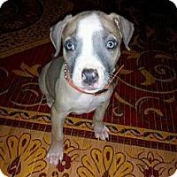 Adopt A Pet :: Nicca - Rowlett, TX