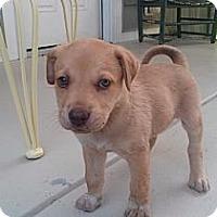 Adopt A Pet :: 3 Aussie / lab mixes - Albemarle, NC