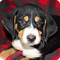 Adopt A Pet :: *Clifford - PENDING - Westport, CT