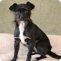 Adopt A Pet :: Lewis I am a DOLL & love dogs! - Redondo Beach, CA