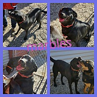Adopt A Pet :: marbles - Gainesville, GA