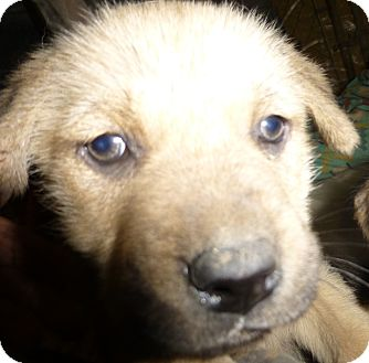 German Shepherd Dog Mix Puppy for adoption in Katy, Texas - Brianna
