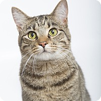 American Shorthair Cat for adoption in Nashville, Tennessee - Chubbie