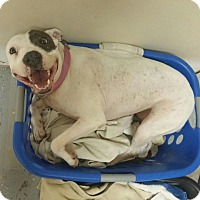 Adopt A Pet :: Star - Houston, TX