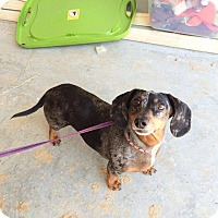 Adopt A Pet :: Ruby - Fayetteville, AR