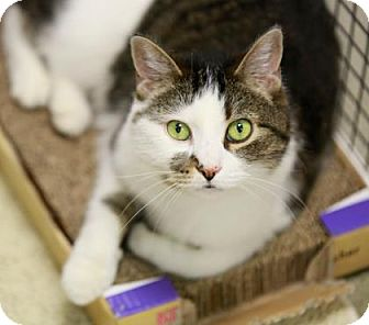 Domestic Shorthair Cat for adoption in Kettering, Ohio - Daisy Doodle