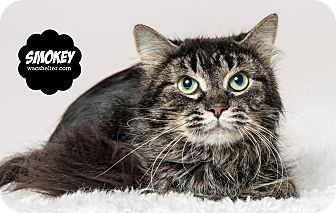 Domestic Mediumhair Cat for adoption in Wyandotte, Michigan - Smokey