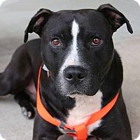 Labrador Retriever/American Staffordshire Terrier Mix Dog for adoption in Golsboro, North Carolina - AMOS