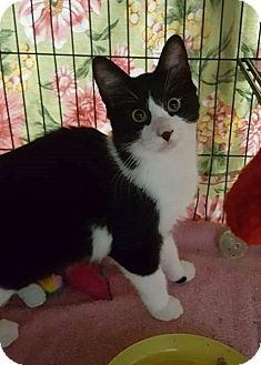 Domestic Shorthair Kitten for adoption in Freeport, New York - Star