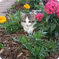 Adopt A Pet :: Atticus - Kohler, WI