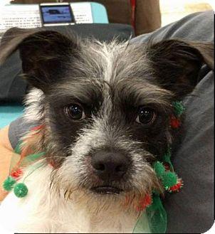 Standard Schnauzer Dog for adoption in Von Ormy, Texas - Chester