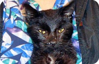 Domestic Shorthair Cat for adoption in Wildomar, California - 327757