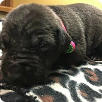 Adopt A Pet :: Princess Sharice - Fort Wayne, IN