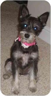 zoey adopted dog haughton la schnauzer miniature rat terrier mix