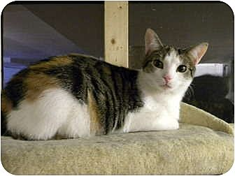Calico Cat for adoption in Bartlett, Illinois - Tessa