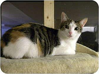 Calico Cat for adoption in Bartlett, Illinois - Tessa