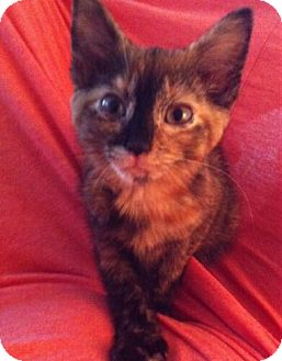 Domestic Shorthair Kitten for adoption in Reston, Virginia - Amber