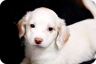 Border Collie/Labrador Retriever Mix Puppy for adoption in St. Louis, Missouri - Sparky Border Collie