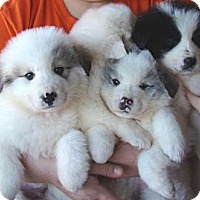 Adopt A Pet :: Litter of 6 Pyr pups - Oklahoma City, OK
