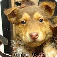 Adopt A Pet :: Amber - baltimore, MD