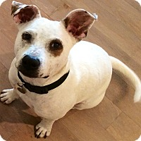 Adopt A Pet :: Patch - Surprise, AZ