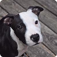 Adopt A Pet :: WIDGET - MINNETONKA, MN
