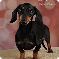 Adopt A Pet :: Baron - Henderson, NV