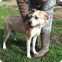 Hound (Unknown Type)/Pit Bull Terrier Mix Dog for adoption in North, Virginia - Ridley