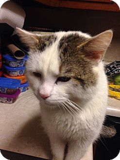 American Shorthair Cat for adoption in Hopkinsville, Kentucky - Loki