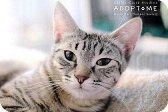 Domestic Shorthair Cat for adoption in Edwardsville, Illinois - Jasmine