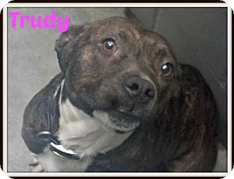 American Pit Bull Terrier Mix Dog for adoption in Amory, Mississippi - Trudy