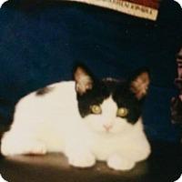 Domestic Shorthair Kitten for adoption in Yorba Linda, California - Bruce Wayne
