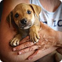 Adopt A Pet :: Bobbie Joe - Glastonbury, CT