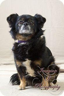 Pekingese/Chihuahua Mix Dog for adoption in Oklahoma City, Oklahoma - Gidget