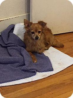 Chihuahua Mix Dog for adoption in Enid, Oklahoma - Max