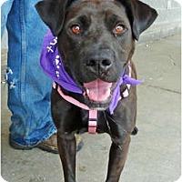 Labrador Retriever Mix Dog for adoption in Detroit, Michigan - Luna