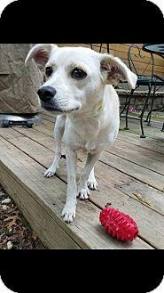 Chihuahua/Labrador Retriever Mix Puppy for adoption in Smithtown, New York - Uma