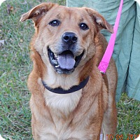 Chow Chow/Retriever (Unknown Type) Mix Dog for adoption in SUSSEX, New Jersey - Angelia(45 lb) Good Family Pet
