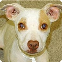 Pit Bull Terrier Mix Puppy for adoption in Birmingham, Alabama - Electra