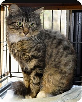 Domestic Mediumhair Cat for adoption in Smithers, British Columbia - Maple