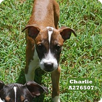 Boxer Mix Dog for adoption in Conroe, Texas - CHARLIE