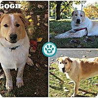Adopt A Pet :: Van Gogh - Kimberton, PA