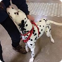 Dalmatian Dog for adoption in South Amana, Iowa - Hawkeye