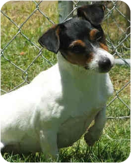 Jack Russell Terrier Dog for adoption in Phoenix, Arizona - SPARKIE