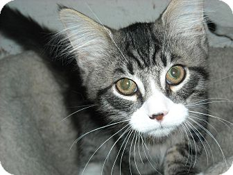 Maine Coon Kitten for adoption in Arlington, Virginia - Percy & PJ